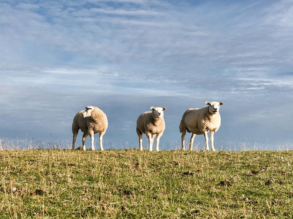 schapen_LR